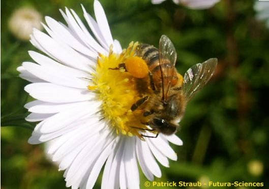 fleur et abeille | la vidure