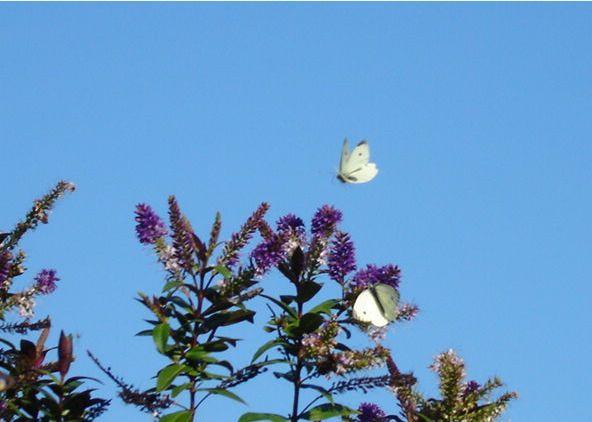 http://gaetanpelletier.files.wordpress.com/2012/10/papillons.jpg